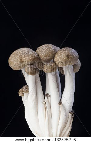 Brown beech mushrooms Shimeji mushroom Edible mushroom isolated on black background