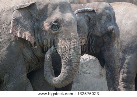 Nice group of elephants eating vegetables Kolkata West Bengal India.
