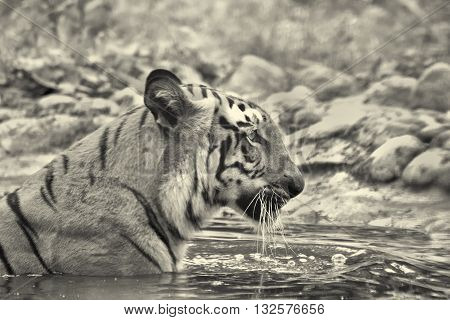 Beautiful Royal Bengal Tiger Panthera Tigris bathing in water. Tinted image. It is largest cat species and endangered only found in Sundarban mangrove forest of India and Bangladesh.