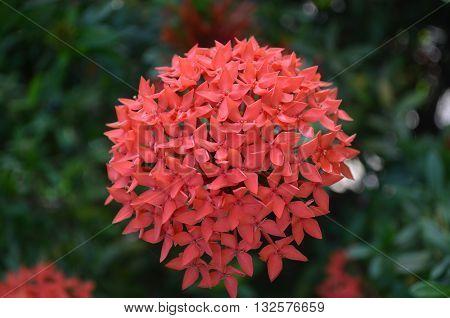 flor de jardim simples e linda para qualquer uso