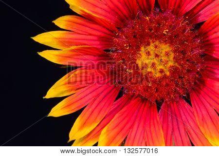 Indian Blanket (Gaillardia pulchella) or Firewheel wildflower front isolated against black background