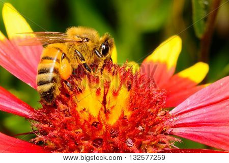 Honeybee on Firewheel Flower also called Indian Blanket or Sundance (Gaillardia pulchella)