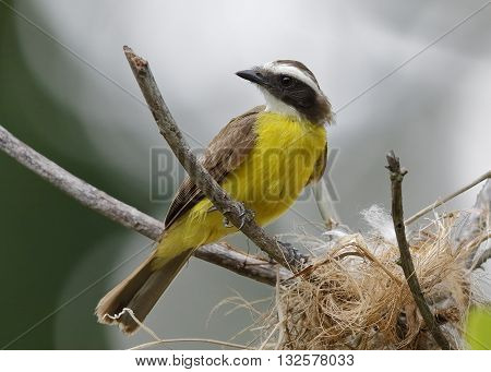 Rusty-margined Flycatcher At Its Nest - Panama
