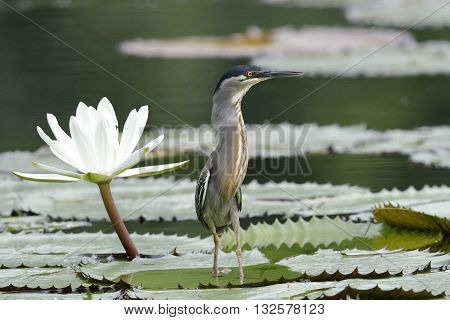 Striated Heron Next To A Water Lily - Panama