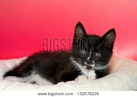 black and white tuxedo tabby cat laying on off white blanket pink textured background looking forward