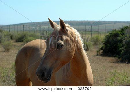 African Horse