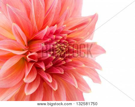 flower pink dahlia isolated on white background