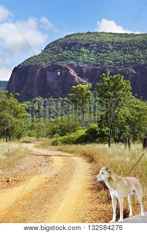 outback road to Mount Mulligan a old mining town in Australia with dingo on road