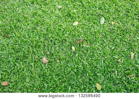 Green grass seamless texture natural background texture. and leaves on grass : Ideal use for background .