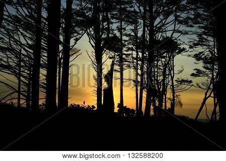 a picture of an exterior Pacific Northwest forest grove of Sitka spruce trees at sunset