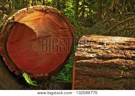 a picture of an exterior Pacific Northwest forest cut down  conifer tree