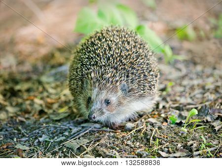 Young hedgehog in natural habitat. Clouse up