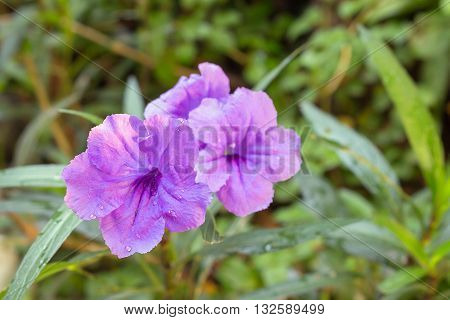 Ruellia flower Purple bloom in the morning. (Ruellia tuberosa Linn. Waterkanon Watrakanu Feverroot Popping pod) : blurred background : select focus front Ruellia.