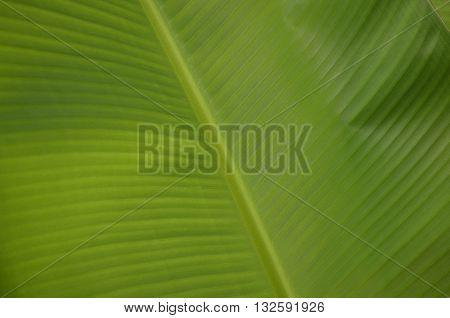 Soft focus,Background fiber on green banana leaves.