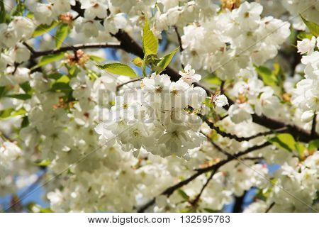 twigs with beautiful fragile white blooms of a cherry tree