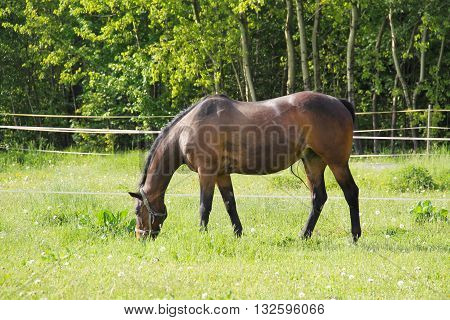 brown horse pasturing on the meadow in spring