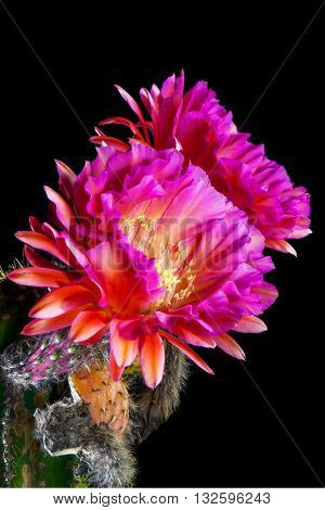 An Echinopsis Hybrid Trichocereus Hybrid commonly known as a Flying Saucer. Two pink night blooming cactus flowers against a black night sky. Shriveled remains of previous blooms are below the current blooms.