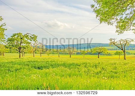 green meadow with fruit trees canola field in the background