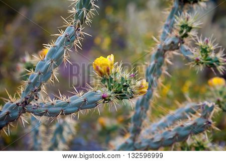 A blooming Staghorn Cholla in the Arizona Sonoran Desert of Phoenix. The blooms are yellow and pink in color and the cactus looks almost blue in the late afternoon light. Taken April 5th of 2014.