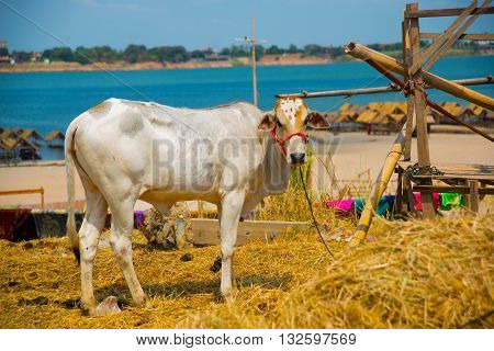 White Cows On The Background Of The River.