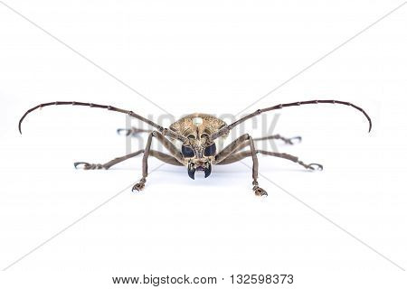 Close up of a Longhorn beetle ( Coleoptera-Cerambycidae ) on white background