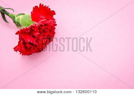 Red carnation flower on pink background with copyspce ready for your message or text.