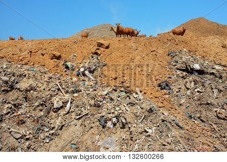 A herd of cows scavenge amid trash plastic bags hazardous household garbage and toxic industrial waste at Suwung the biggest and most polluted landfill site on the resort island of Bali Indonesia.