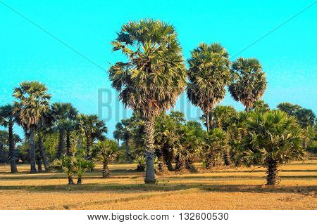 Palm trees on dry rice field after harvest