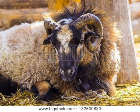 a ram. Big Horn Sheep. Big Horn Sheep ram looking over a ledge at photographer. sheep ram. farm animal a ram