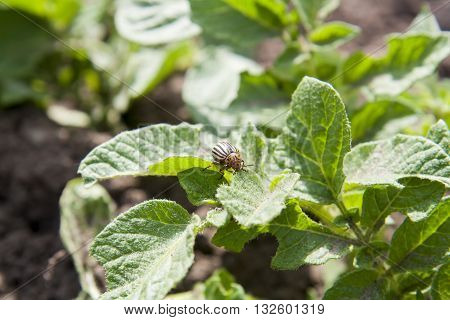 Colorado Beetle (potato Beetle) Sitting On Potato Leaves.