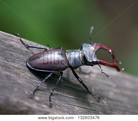 Stag-beetle. Insect beetle deer on an old tree.
