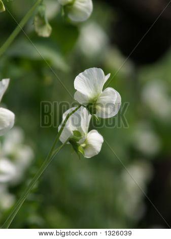 Flores de guisantes en un día del sol de febrero