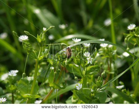 Avispa que aspira el polen de una flor pequeña blanca