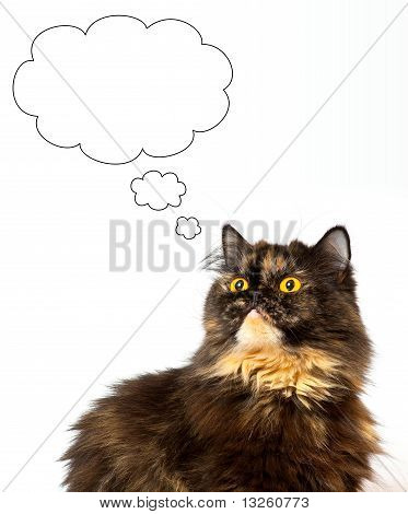 Dream persian tortie cat on the white background