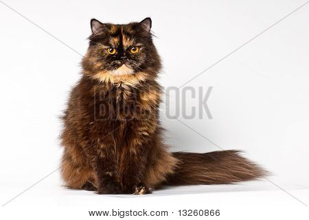 grand persian tortie cat on the white background looks