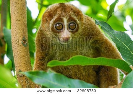 Slow Loris monkey with big eyes on tree with green leaf as background. Slow lorises often hang upside-down from branches by their feet so they can use both hands to eat.