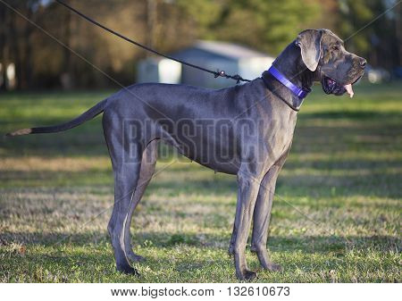 Purebred Great Dane walking on a field just before sunset