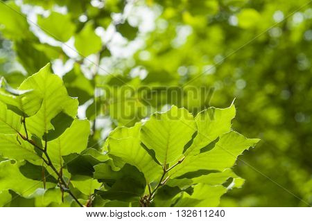 full frame background of sunny illuminated translucent fresh green leaves at spring time