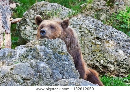 Bear relaxed in nature. Wild animal relaxed.