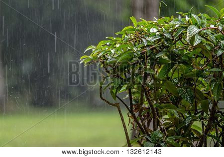 Pre-Monsoon summer heavy rains over the tropical garden..
