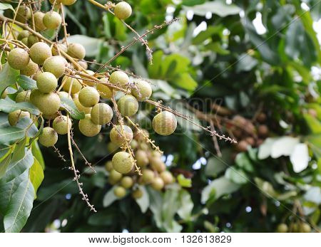 longan tropical fruit on branch in the garden