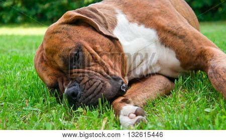 the dog breed the boxer, a green lawn, bushes a background, lies, is ill, dies, melancholy,