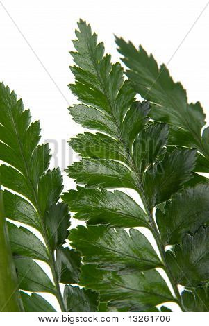 Fern Leaf Detail