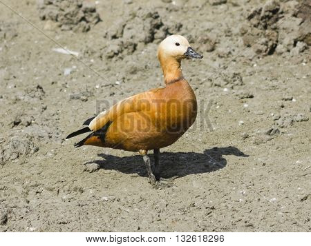 Male ruddy shelduck on muddy bottom of dry pond selective focus