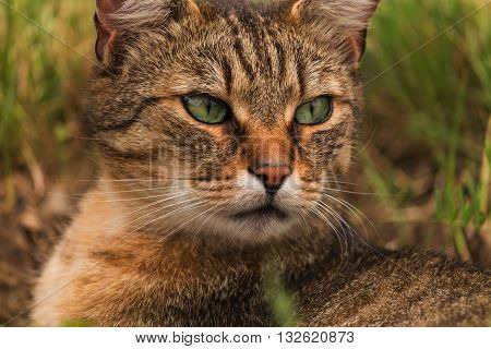 Portrait of green-eyed cat in summer nature
