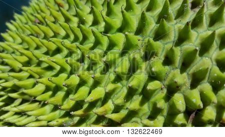 Closeup of a panna  (Puerto Rican for breadfruit)