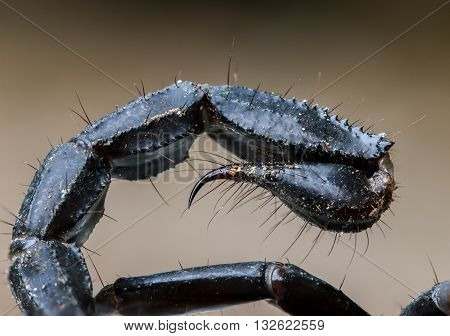 Macro image of the stinger of a scorpion