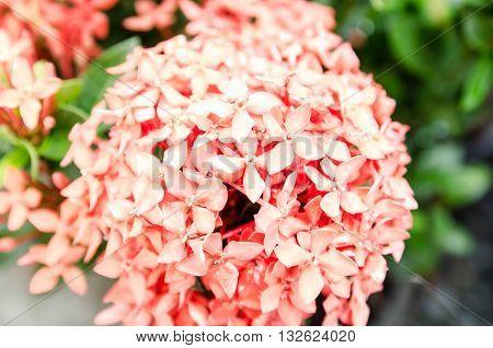 pink ixora, West Indian Jasmine (Ixora, spp.), Closeup