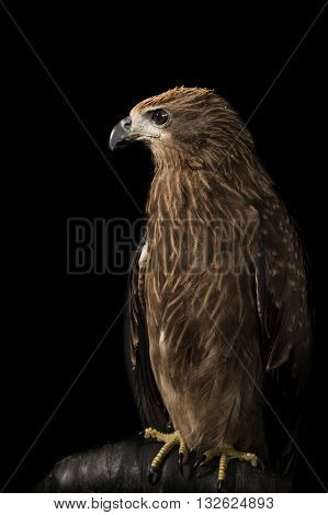 Closeup hawk , bird on black background