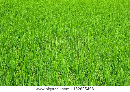 Verdant natural green rice fields in Thailand.